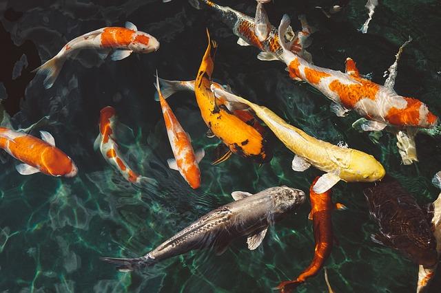 Fische Kois im Teich